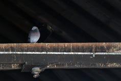 Einzelnes Pidgeon auf Dachsparren Lizenzfreies Stockbild