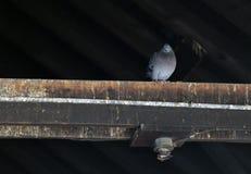 Einzelnes Pidgeon auf einem Dachsparren Lizenzfreie Stockbilder