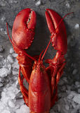 Einzelnes Rot gedämpfter Maine-Hummer auf Eis Stockfotografie