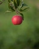 Einzelnes rotes Apple auf grünem Hintergrund Stockfoto