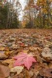 Einzelnes rotes Blatt auf breitem Forest Trail Lizenzfreie Stockbilder