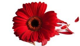 Einzelnes rotes Dhalia Lizenzfreies Stockfoto