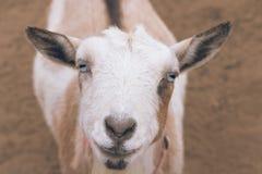 Einzelnes Schwarzes, Weiß und Sonnenbräune, nigerische zwergartige Haustierziege der bärtigen, blauen Augen, die oben Kamera mit  stockfotografie