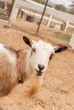 Einzelnes Schwarzes, Weiß und Sonnenbräune, nigerische zwergartige Haustierziege der bärtigen, blauen Augen, hereinkommender Rahm stockfoto