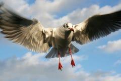 Einzelnes Seemöwenfliegen in einem Himmel als Hintergrund stockbild