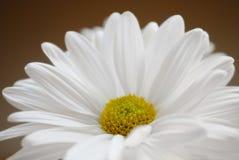 Einzelnes weißes Gänseblümchen Stockbilder