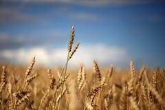 Einzelnes Weizenstroh mitten in dem Feld, das für das s erreicht Lizenzfreie Stockfotos