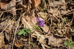 Einzelpflanze Corydalis solida im Wald stockbilder