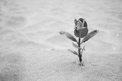 Einzelpflanze, die auf Strand im Sand wächst Stockfotos