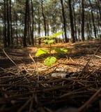 Einzelpflanze in einem Kiefernwald Lizenzfreie Stockfotografie