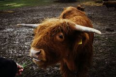 Einziehende braune Kuh stockfotos