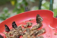 Einziehender verschiedener Schmetterling im roten Behälter Lizenzfreie Stockfotografie