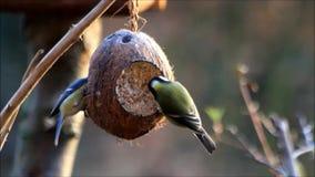 Einziehendes fettes Vogelfutter im Winter stock video