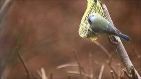 Einziehendes fettes Vogelfutter im Winter stock video footage