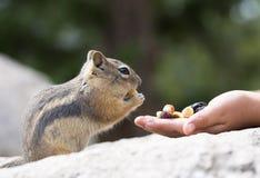 Einziehendes hungriges Streifenhörnchen Lizenzfreies Stockfoto