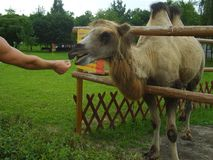 Einziehendes Kamel, Kamel im Zoo, Mann ` s Hand mit Lebensmittel Stockfoto