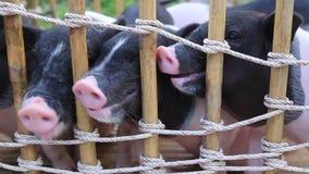 Einziehendes Schwarzweiss-Schwein stock video