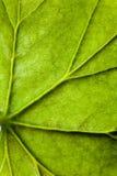 Einzigartige Adern des grünen Blattes der Pelargoniennahaufnahme Lizenzfreie Stockfotografie