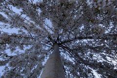Einzigartige horizontale Ansicht eines blühenden weinenden Kirschbaums Stockfotografie