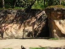 Einzige Giraffe Stockbild