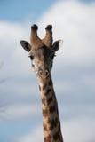 Einzige Giraffe, die entlang der Kamera anstarrt Stockbild