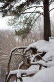 Einzige Kiefer im Winterwald Stockbilder