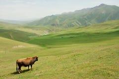 Einzige Kuh, die in einem Tal mit grünem Gras zwischen den Bergen weiden lässt Lizenzfreies Stockfoto