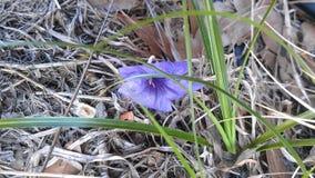 Einzige purpurrote Blume angeschwemmt auf einem Gebiet lizenzfreie stockfotografie