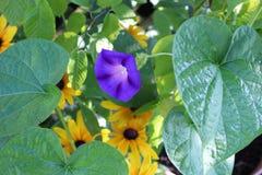 Einzige purpurrote Windenblume umgeben durch grüne Blätter Stockfoto