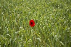 Einzige rote Mohnblume auf grünem Feld Lizenzfreies Stockfoto
