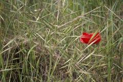 Einzige rote Mohnblume auf grünen Unkräutern Lizenzfreies Stockbild