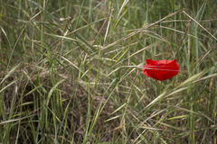 Einzige rote Mohnblume auf grünen Unkräutern Stockfoto