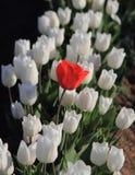 Einzige rote Tulpe Stockbild