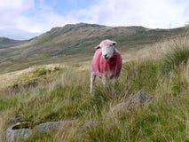 Einzige Schafe auf Abhang Stockbild