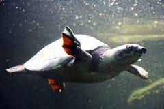 Einzige Schildkröte Lizenzfreie Stockfotografie