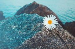 Einzige wilde Kamille blüht auf grauem Stein, Hintergrund des blauen Wassers Gänseblümchen der felsige Strand Lizenzfreie Stockbilder