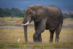 Einziger afrikanischer Elefant mit alleinem Kuhreiher Stockfotografie