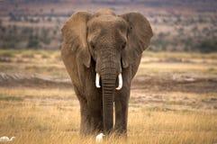 Einziger afrikanischer Elefant mit zwei Kuhreihern Stockbilder