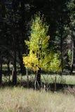 Einziger Aspen in Colorado Lizenzfreies Stockbild