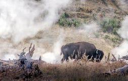 Einziger Büffel im Dampf bei Yellowstone Stockfoto
