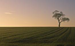 Einziger Baum auf dem Gebiet bei Sonnenuntergang Lizenzfreies Stockfoto