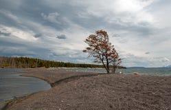 Einziger Baum auf Sandbank rief Hard Road an, auf die Banken von Yellowstone See in Yellowstone Nationalpark in Wyoming USA zu fo lizenzfreie stockfotografie