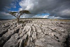 Einziger Baum auf Twistleton-Narbe Stockfotos