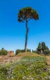 Einziger Baum in den römischen Ruinen in Rom in Italien Lizenzfreie Stockbilder