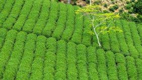 Einziger Baum, der von einer Teeplantage steigt Stockbilder
