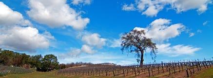 Einziger Baum in der Weinanbaugebiet-Landschaft Paso Robles Lizenzfreie Stockfotos
