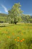 Einziger Baum und bunter Blumenstrauß von den Frühlingsblumen, die weg von Weg 58 auf Shell Creek-Straße, westlich von Bakersfiel Lizenzfreies Stockfoto