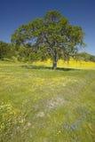 Einziger Baum und bunter Blumenstrauß von den Frühlingsblumen, die weg von Weg 58 auf Shell Creek-Straße, westlich von Bakersfiel stockbild