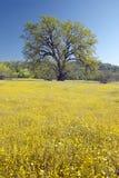 Einziger Baum und bunter Blumenstrauß von den Frühlingsblumen, die weg von Weg 58 auf Shell Creek-Straße, westlich von Bakersfiel Stockfotografie