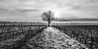 Einziger Baum und Weinberg Lizenzfreies Stockfoto